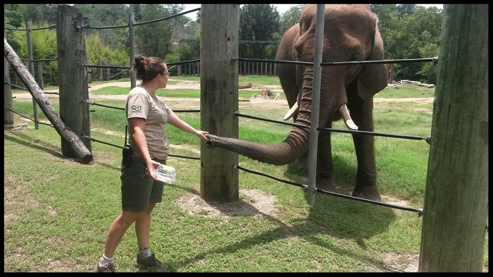 "An African elephant at the Cameron Park Zoo doing a ""trunk target"" behavior to a zookeeper's hand.  Photo Credit: Cameron Park Zoo"