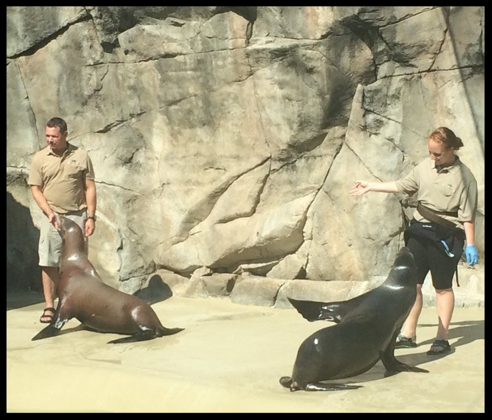 "California Sea Lions at the Brookfield Zoo doing ""flipper presentation"" behaviors during a daily training session."