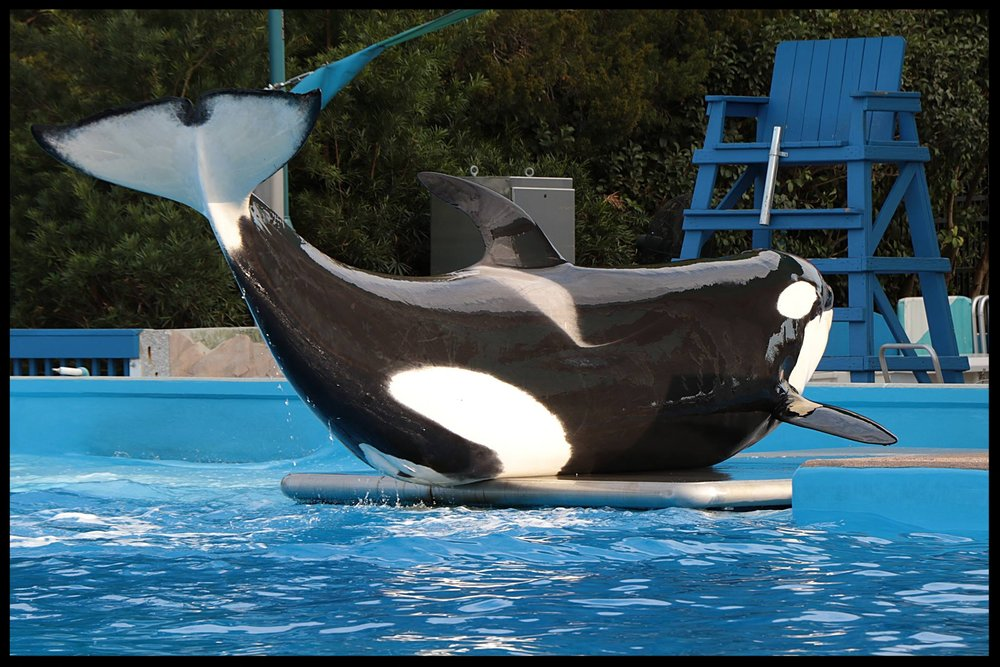 "An orca at SeaWorld Orlando ""stations"" on a scale so trainers can record her weight.  Photo Credit: M. Hummel-Uzzi"