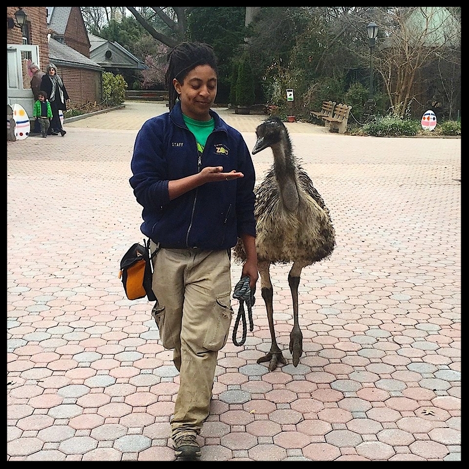 A harness-trained emu is walked through the grounds of the Staten Island Zoo by its trainer.  Photo Credit: R. Ayers
