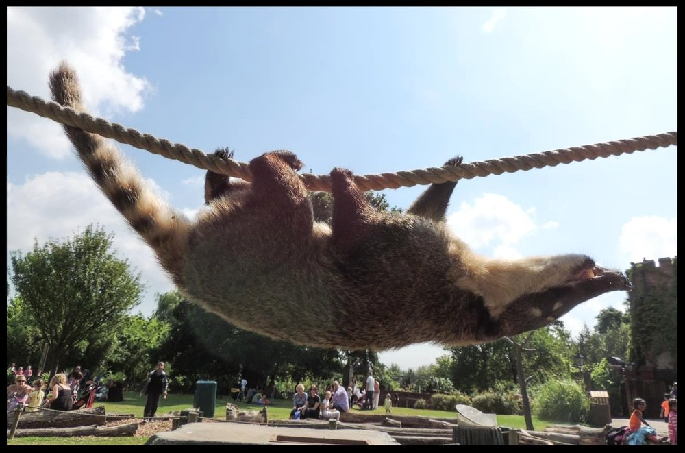 A coatimundi at the Chessington World of Adventures Resort demonstrates the species' agility and climbing ability by running across a rope upside-down.   Photo Credit: L. Partridge