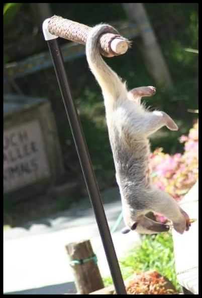A tamandua at Six Flags World Park demonstrates how strong a tail the species has by hanging from it.  Photo Credit: A. Hawkins