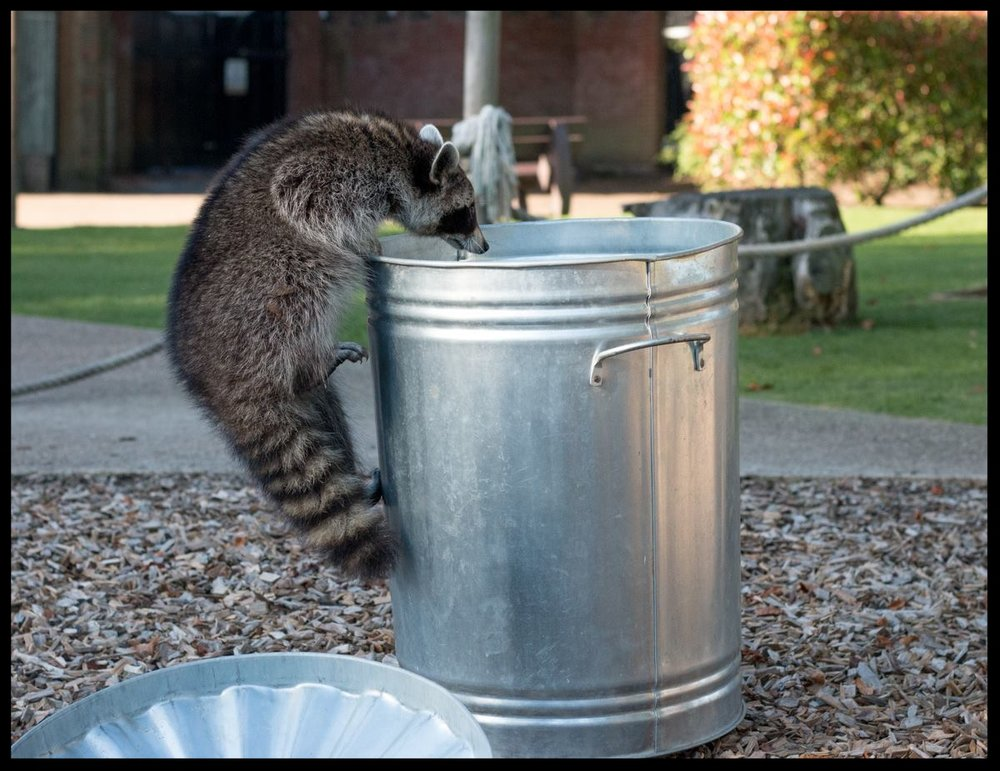 A raccoon at the Chessington World of Adventures Resort demonstrates how easily it is able to get into a typical trash bin during an educational demonstration.   Photo Credit: L. Partridge
