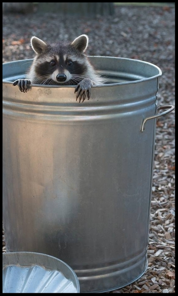 The same raccoon poses for photos in the trash can after the demonstration ended.  Photo Credit: L. Partridge