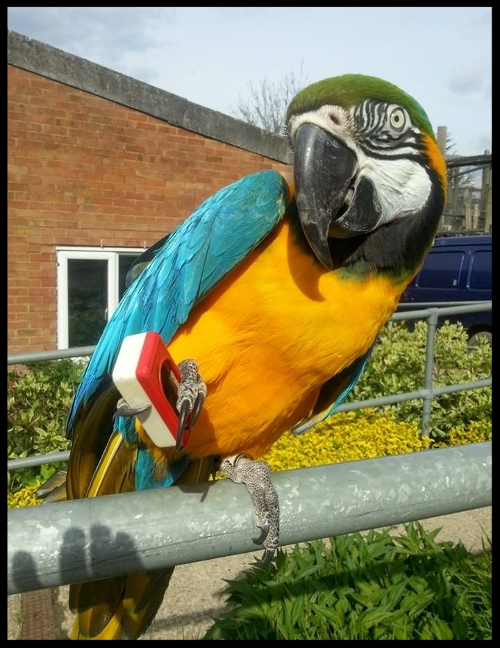 A blue and gold macaw at the Chessington World of Adventures Resort holds a clicker and shows guests that he knows how to bridge himself during his own training session.   Photo Credit: L. Partridge