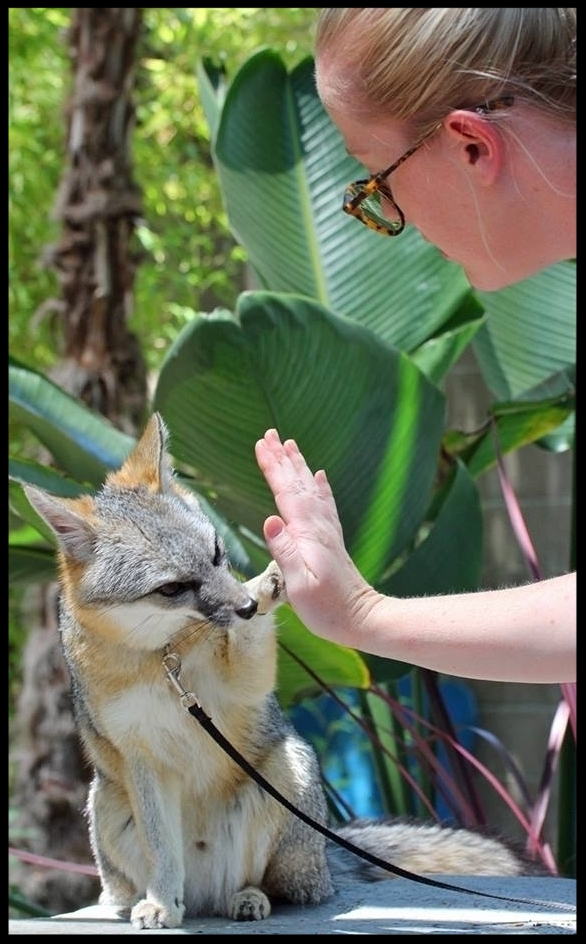 "A grey fox at the Sacramento Zoo ""high-fives"" his trainer on cue.  Photo Credit: M. Owyang"