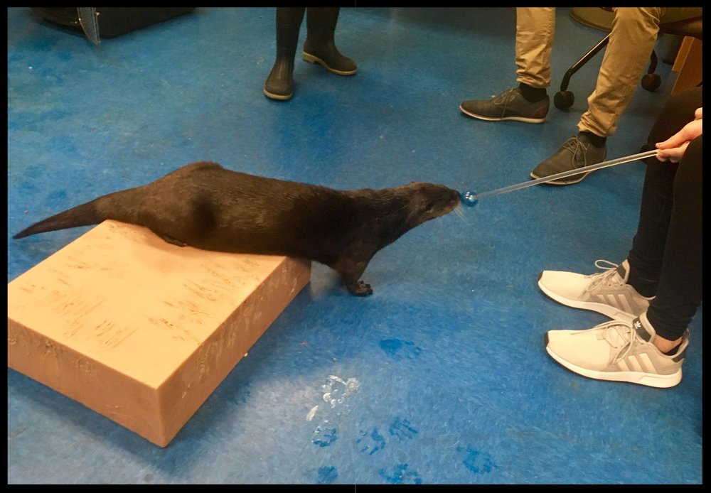 "A North American river otter doing a ""nose target"" behavior to a target pole held by guests during a special behind-the-scenes interaction prgoram."