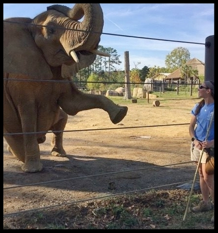 "An African elephant at the Birmingham Zoo working on a ""salute"" behavior. This behavior requires both strength and balance, and is a complicated behavior to learn that provides the elephants with mental enrichment.  Photo Credit: B. Beury"