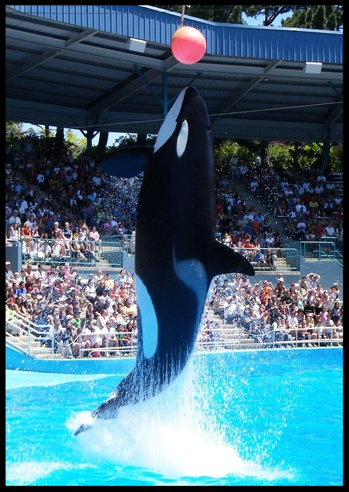 An orca at Six Flags Discovery Kingdom leaps to touch a suspended target with her rostrum.  Photo Credit: M. Owyang