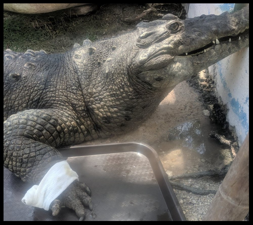 "An American Crocodile waits at a ""station"" on dry land at the Theater of the Sea while a topical treatment sinks into its foot.  Photo Credit: K. Rivera"