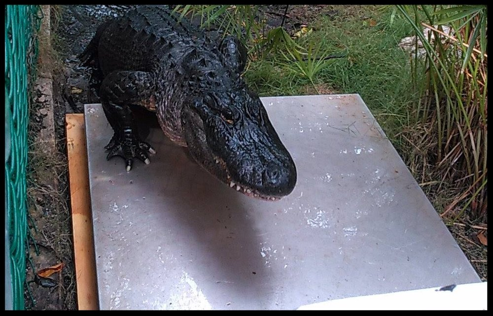 An American Alligator at Theater of the Sea climbs onto a stationary scale.