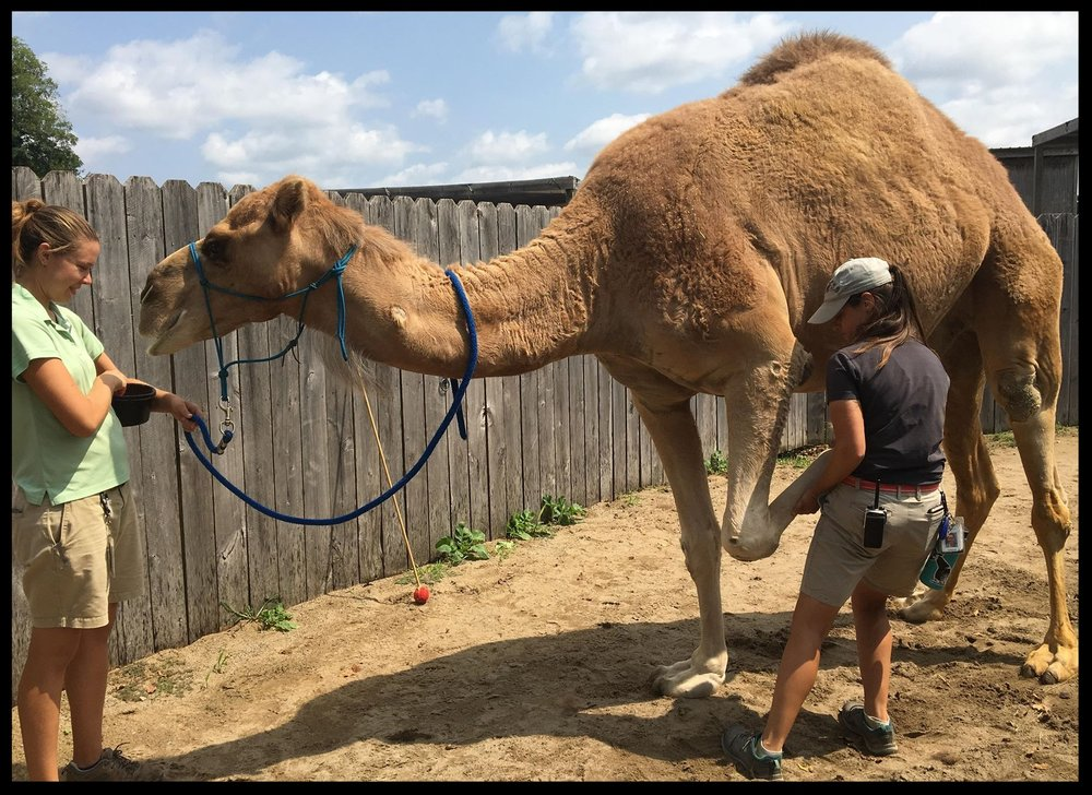 The same dromedary camel allowing leg manipulation by his trainer as part of his PT.