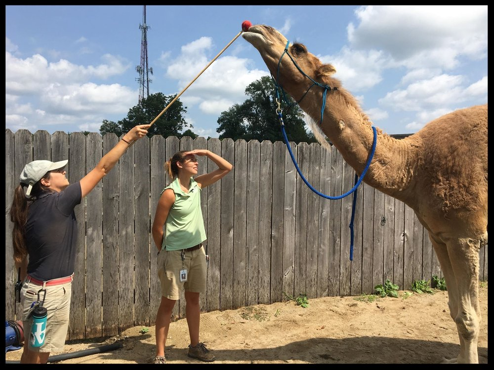 "A dromedary camel at a zoo in Kentucky stretching into a ""nose target"" behavior as part of physical therapy for his stiff neck."