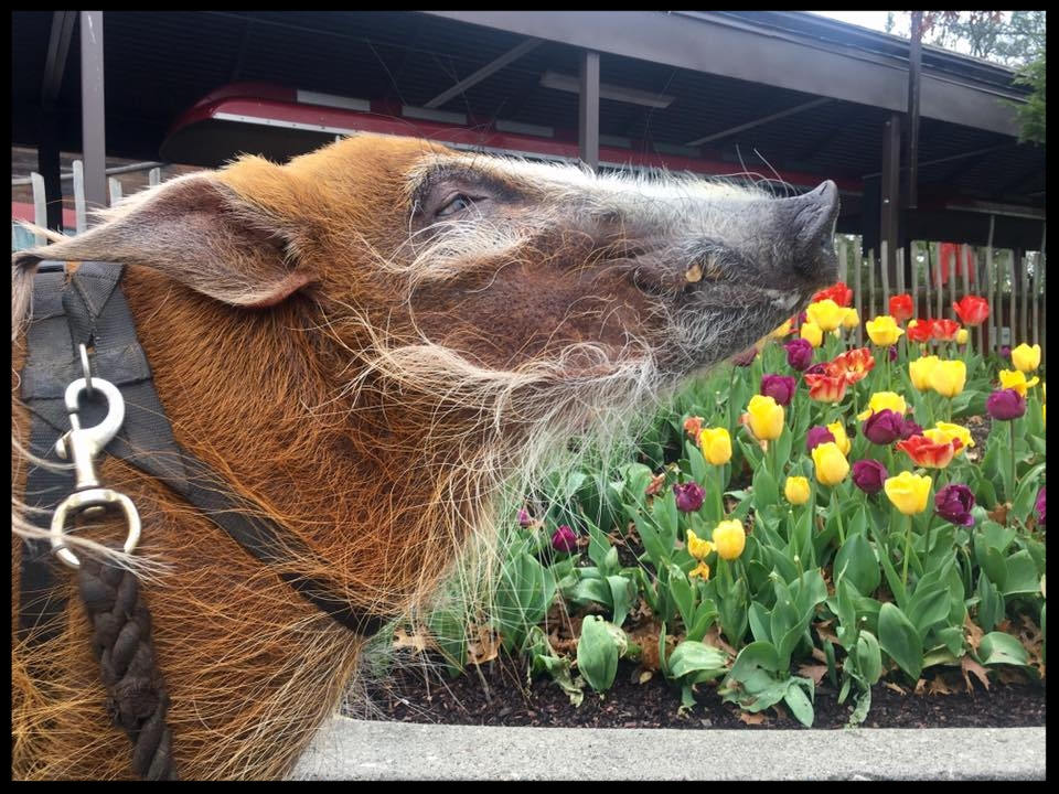 A red river hog at the Cincinnati Zoo stops to sniff the breeze while exploring the zoo grounds wearing his harness.  Photo Credit: K. Meeker