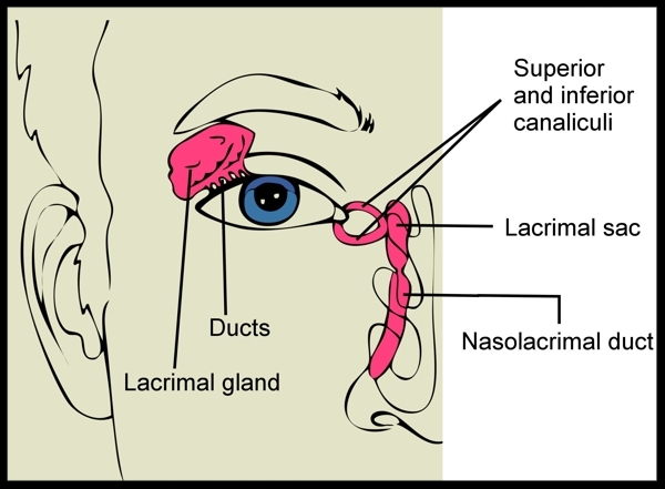A diagram of the human lacrimal apparatus.  Photo Credit:  Bodytomy