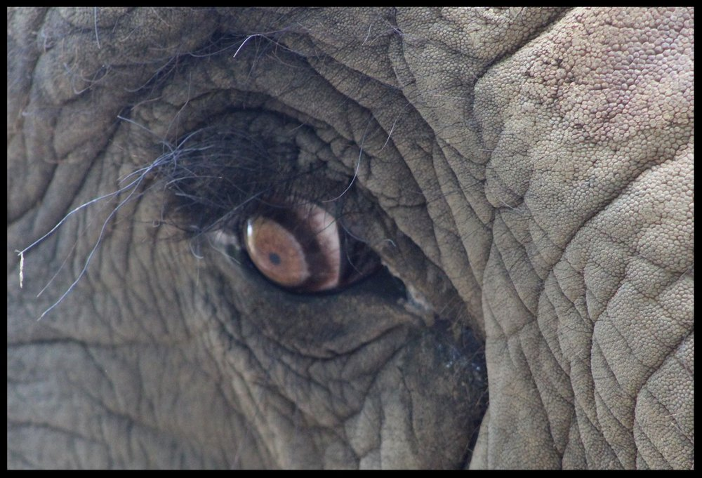 A close-up of an African elephant's eye, showing the edge of the third eyelid.  Photo Credit: B. Beury