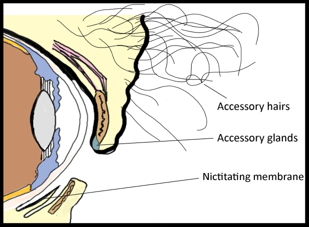 A diagram of the relevant structures involved in an elephant's tear production.  Photo Credit: T. Mueller
