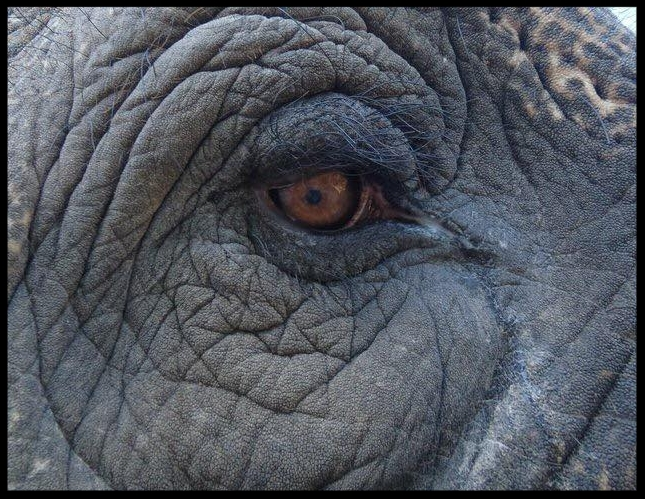 The medial canthus of an Asian elephant, showing the drainage and evaporation of tear film down the face.  Photo Credit: D. Lints
