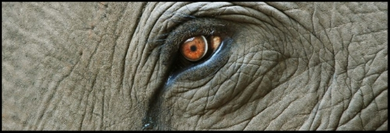 An stock image of fluid leaving an elephant's eye that is frequently used in media articles that claim elephants can cry emotional tears.  Photo Credit: Jiri Foltyn / Shutterstock