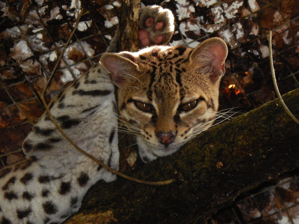 A full grown Margay in Belize.