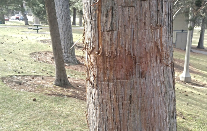 Bark damage to tree due to improper padding; Big NO-NO!
