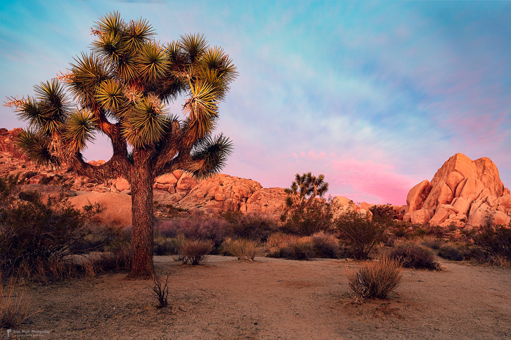 Joshua Tree with Dawn's Early Light