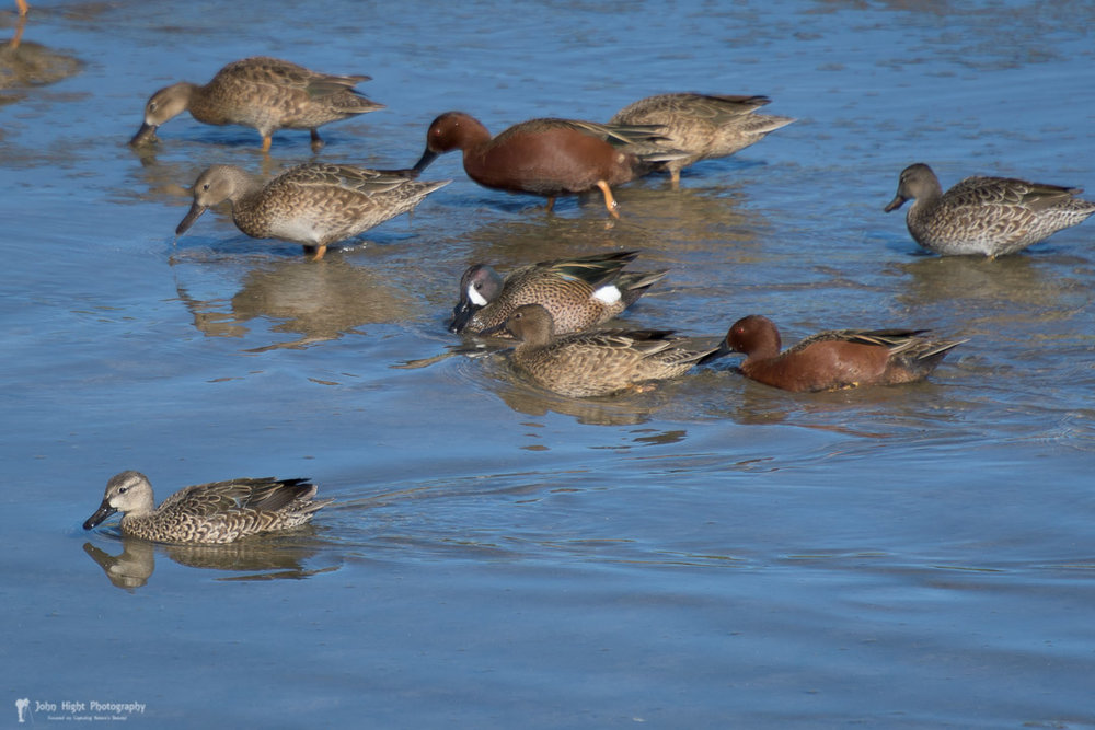 Family of Cinnamon Teals with a Blue-Winged Teal Visiting