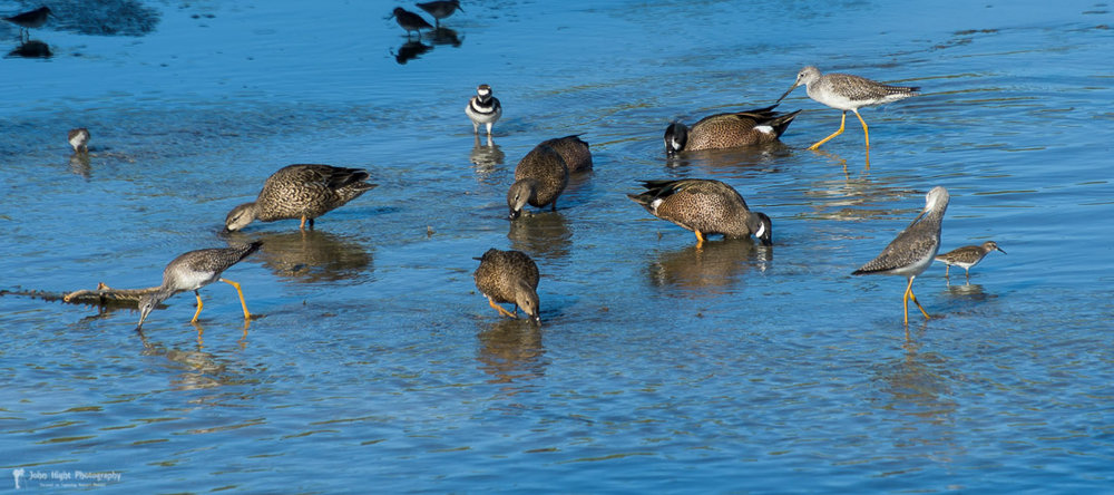 Blue-Winged Teals, Lesser Yellowlegs, Plover,  and Sandpiper enjoying the bounty of the estuary.