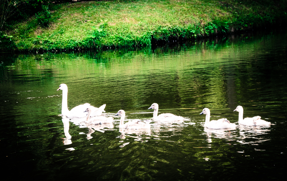 Mother Swan and Adolescents