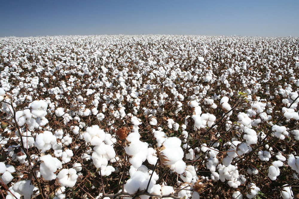 Cotton Crop (Dollarphotoclub_79525524).jpg