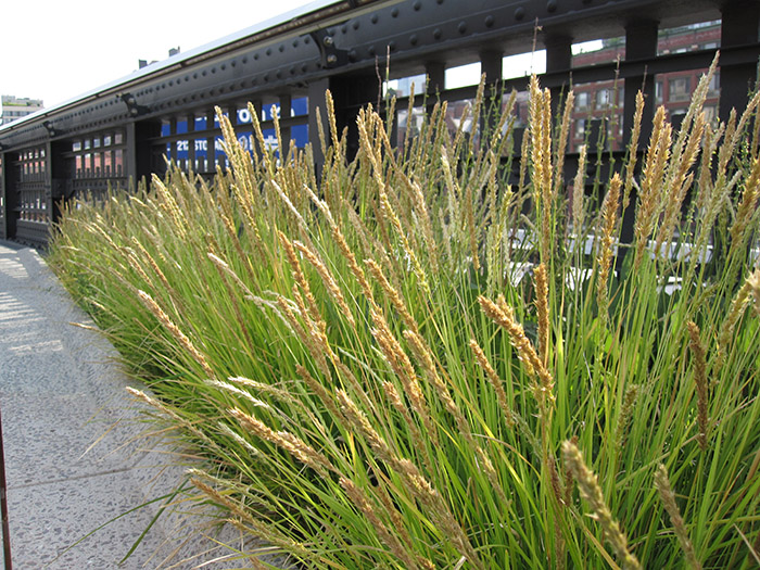 Autumn Moor Grass seen here along the High Line Trail in NYC