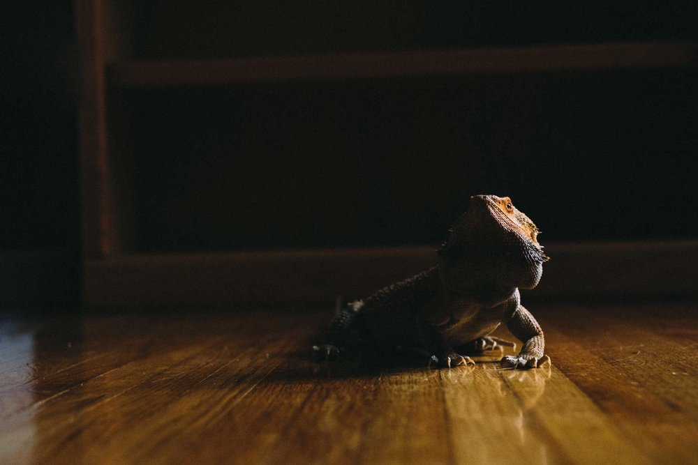 lizard on hardwood