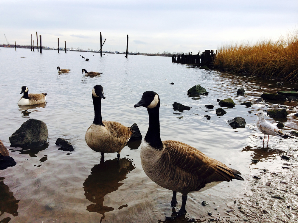 Gossiping geese on Great Kills, Staten Island during a winter afternoon - December 30, 2014