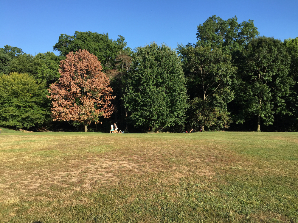 A single tree welcomes Autumn on the Long Meadow in Prospect Park, Brooklyn - September 5, 2015