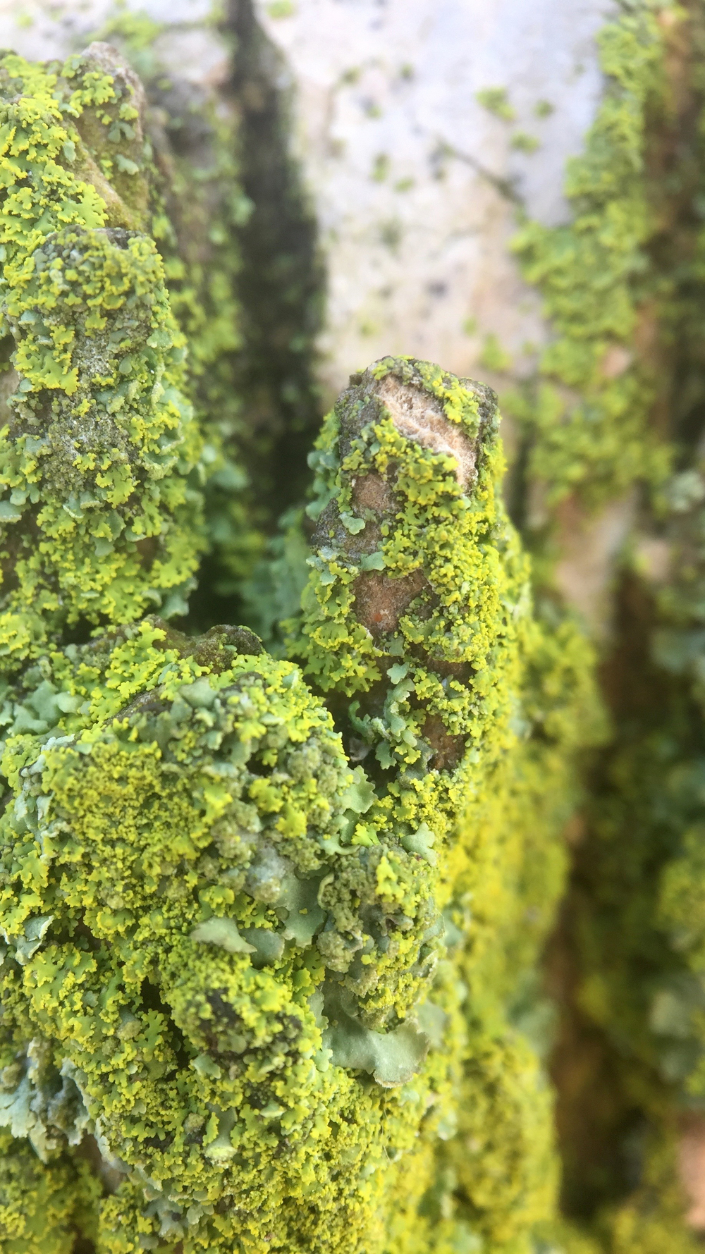 A closeup of moss growing on a tree along Shore Road - April 7, 2016