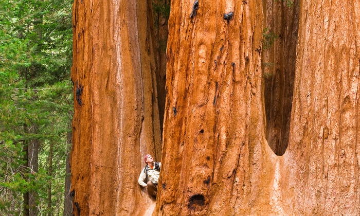 - The timber industry and its advocates are using the national monument review to advocate for reduced protections around California's giant sequoias Photograph: Alamy Stock Photo