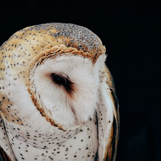 Injured barn owl that is now a Florida Aquarium resident and ambassador of his species