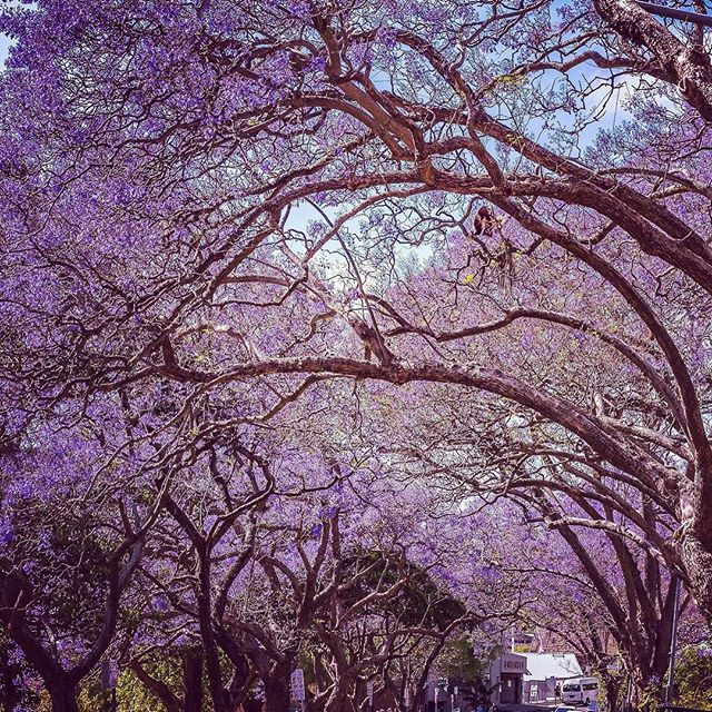 Breath taking purple flowers of Sydney, dress up the streets greeting and welcoming spring🌺🌺🌺#sydney,#purpleflowers,sydney'sspring,#healthymind,#mothernature