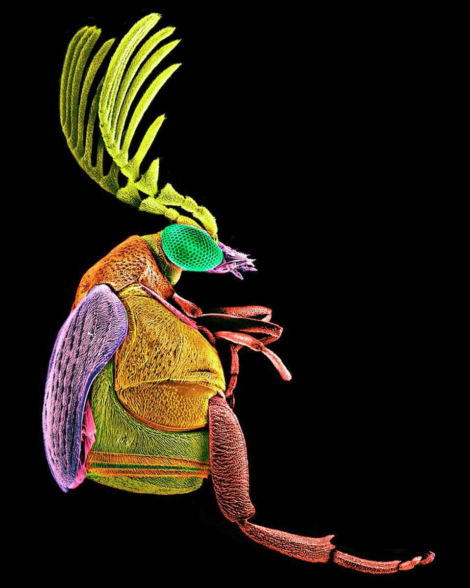Megacerus Beetle