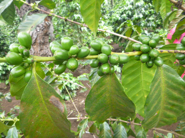 Green coffee beans which will be harvested in November and December