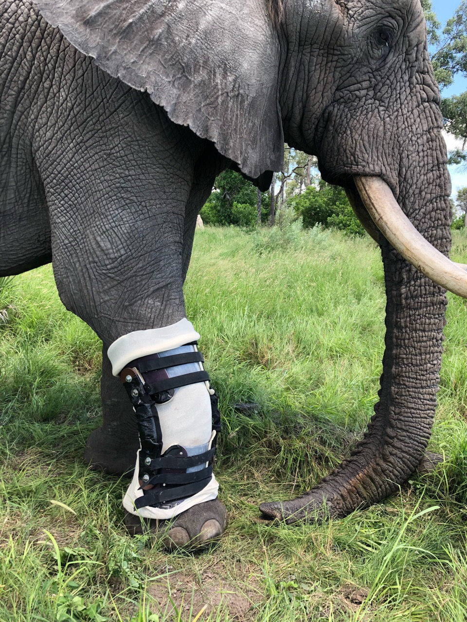 Jabu sporting the World's First Elephant Orthotic Leg brace - fully adjusted