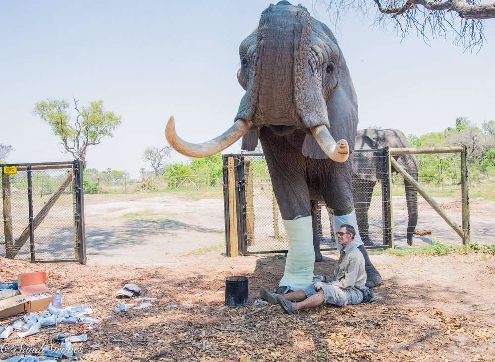 Doug casting Jabu for the World's First Elephant Orthotic Leg Brace as seen on Animal Planet