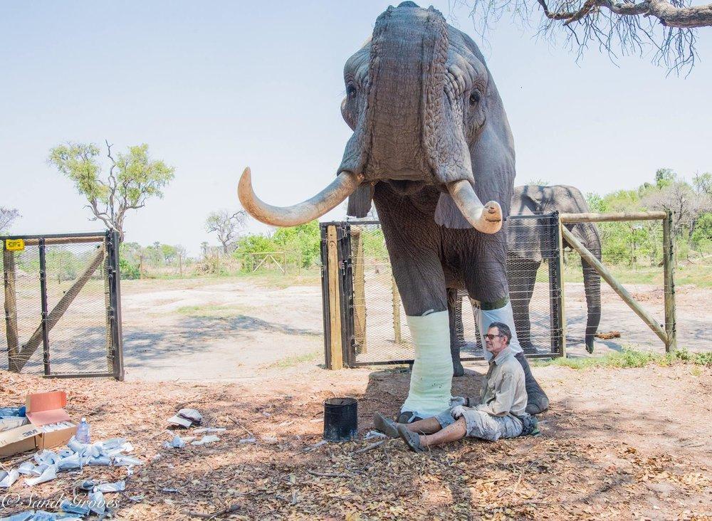 Doug casting Jabu for the World's First Elephant Orthotic Leg Brace as seen on Animal Planet