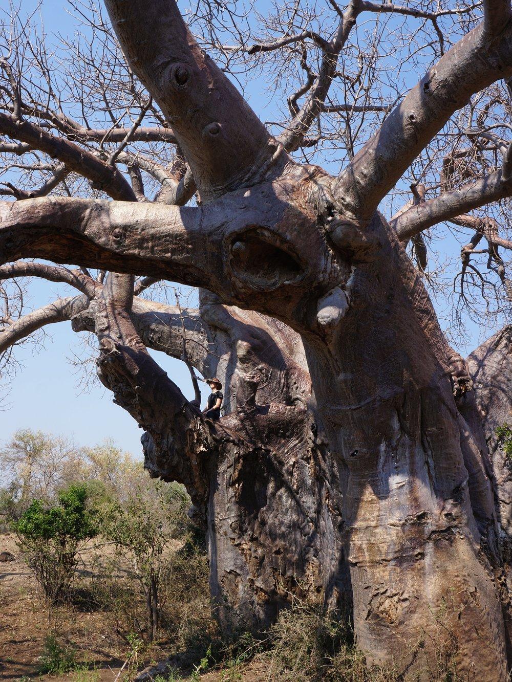 Baobab, Parfuri