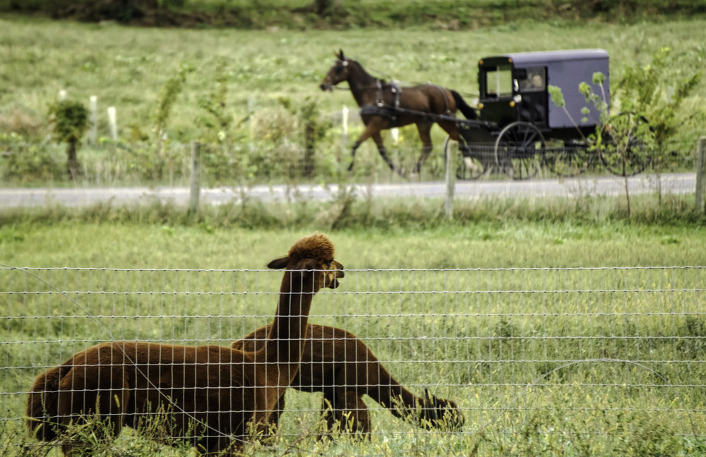 Whoa fred, look at that one!! An Alpaca takes notice of a passing horse and buggy in Ronks, PA.