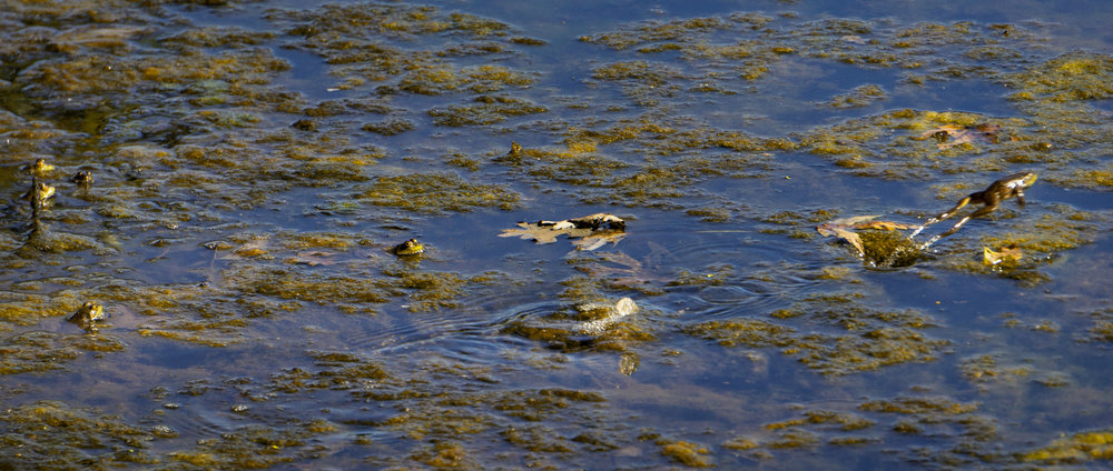 Frogs along the Susquehanna River.