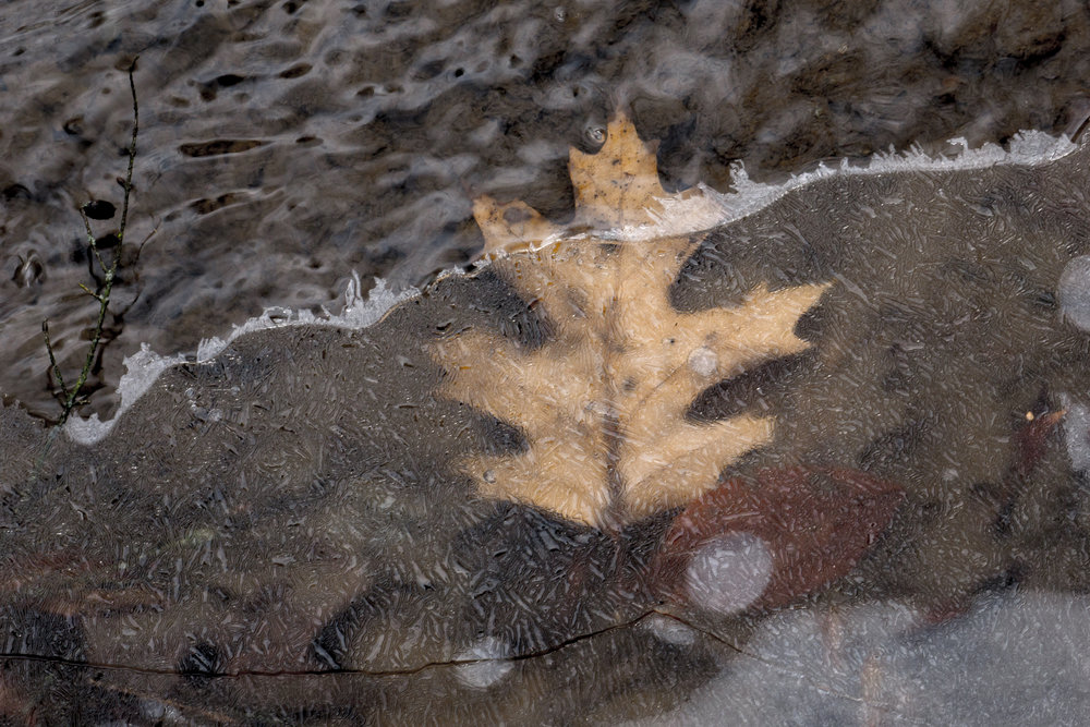 Leaf stuck in ice