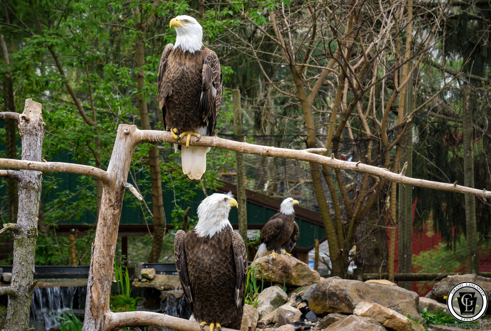 1414 - Bald Eagles - Three Eagles at Elmwood Park Zoo (p,b).jpg