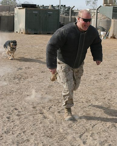 "Rex chases a ""bad guy"" (actually, another dog trainer) in a padded bite suit during a training exercise."