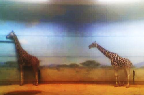Giraffes, Bronx NY